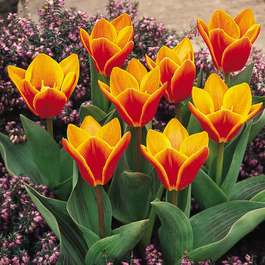 Tulip Early Harvest (Kaufmanniana)