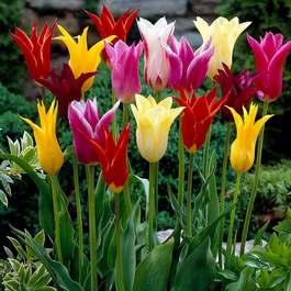 Tulip Lily Flowering Mixed 11 12cm Bulbs J Parker Dutch Bulbs