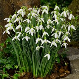 Snowdrops (Giant Flowering)