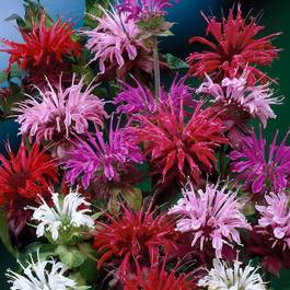 Monarda Mixed (5cm Modules)