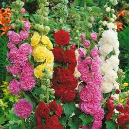 Hollyhocks Mixed