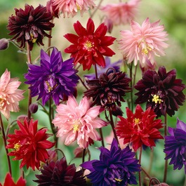 Aquilegia Barlow Mixed