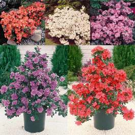 Azalea Dwarf Diamond Collection