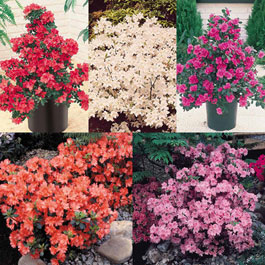 Dwarf Evergreen Azalea Collection