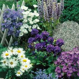 Blue and White Perennial Collection