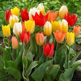 Tulip Fosteriana Mixed J Parker Dutch Bulbs