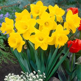 Image result for daffodil King alfred