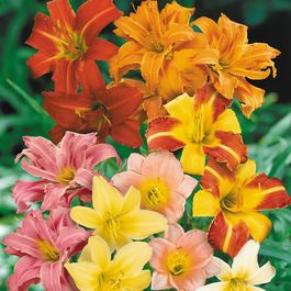 Hemerocallis (Day Lily)