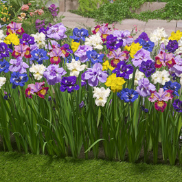Iris 'sibirica' Mixed