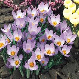 Crocus Whitewell Purple