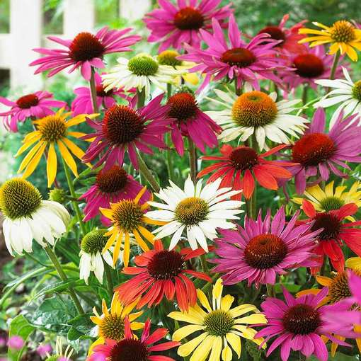 Echinacea Butterfly Mixed