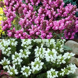 Prunella Grandiflora Collection
