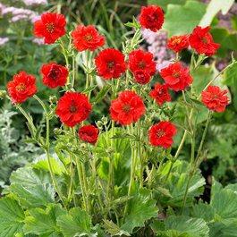 Bradshaw Seeds Geum Chiloense Avens Geum Mrs 50+Seeds
