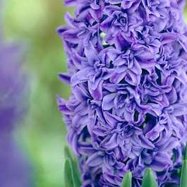 Hyacinth Crystal Palace (Double)