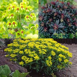 Euphorbia Collection