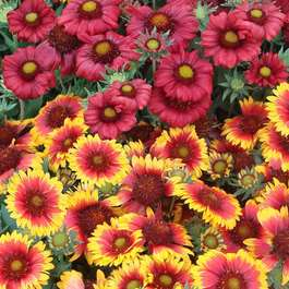 Gaillardia Mixed