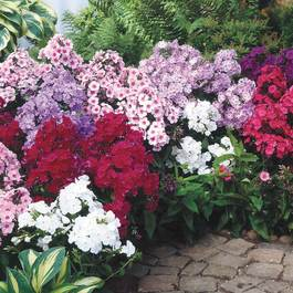 Phlox paniculata Mixed