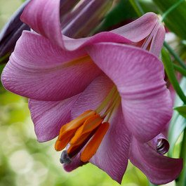 Lily Pink Perfection