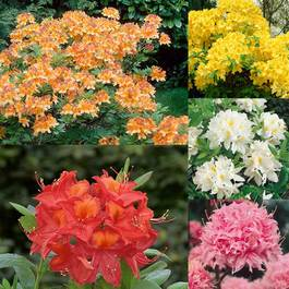 Azalea - Knap Hill Collection