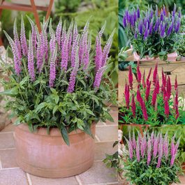 Veronica spicata Collection