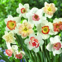 Daffodil Pink Varieties Mixed