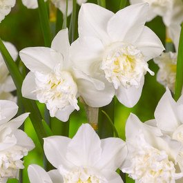Narcissi White Marvel