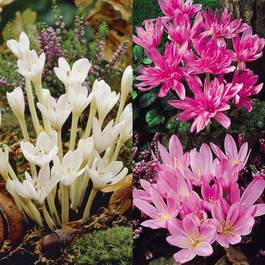 Colchicum Collection