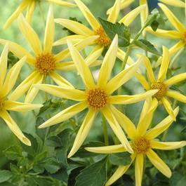 Dahlia Honka Yellow