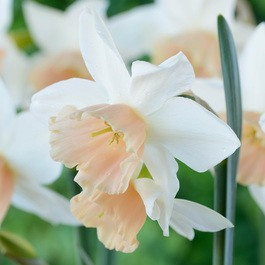 Narcissi Katie Heath