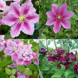Clematis Double Season Collection