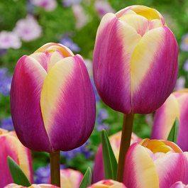 Buy Tulip Atlantis Bulbs | J P...