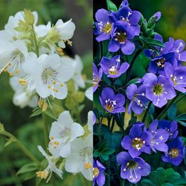 Polemonium Collection