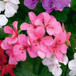 Geranium Single Trailing Pink