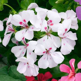 Geranium Single Trailing White