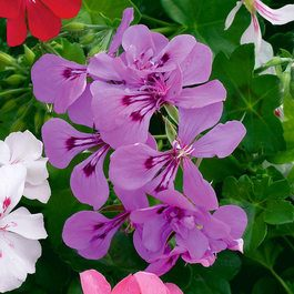 Geranium Single Trailing Blue