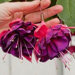 Fuchsia Giant Marbeller Purple Rain (Trailing)