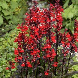 Buy Lobelia Queen Victoria Cardinal Flower J Parkers