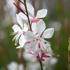 Gaura Whirling Butterflies