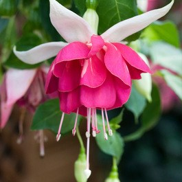 Fuchsia Seventh Heaven (Trailing)