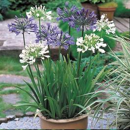 Agapanthus Blue and White Collection