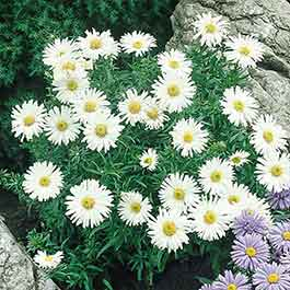 Aster Alpinus White Beauty