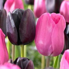Tulip Triumph Collection (Black and Pink)