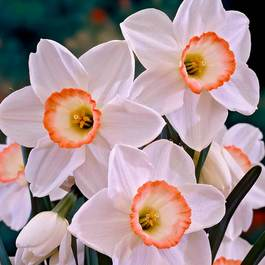 Narcissi High Society