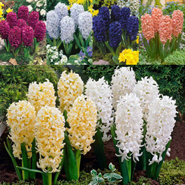 Hyacinth - Top Sized Hyacinth 17-18cm