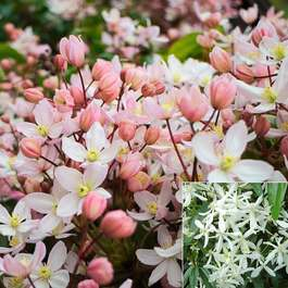 Clematis armandii Collection