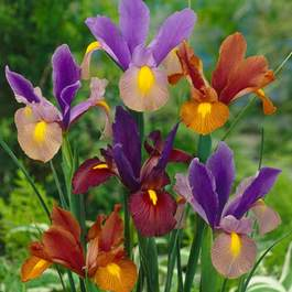 Iris Mixed (Dutch Iris Tiger)