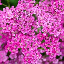 Achillea Cerise J Parker Dutch Bulbs