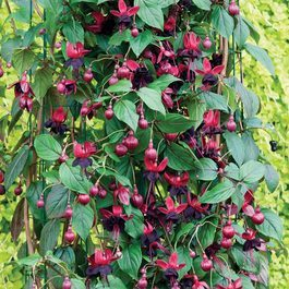 Fuchsia Lady in Black (Climbing)