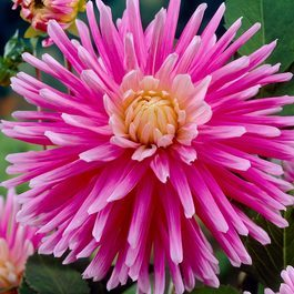 Dahlia Good Earth