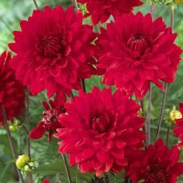 Dahlia Garden Wonder